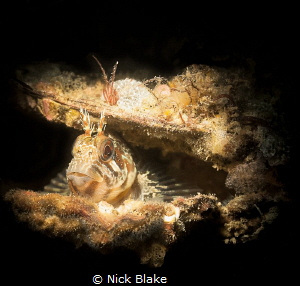 A Tompot Blenny resides inside an empty shell - Selsey Li... by Nick Blake